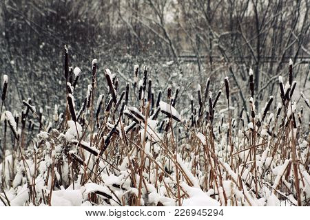 Dry Bulrush Thickets Covered With Snow. Winter In Russia. Aged Photo. A Snowy Day In The Park. Winte