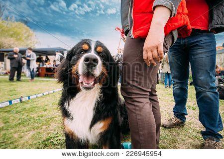 Funny Farm Dog Bernese Mountain Dog Berner Sennenhund Sitting Near Woman In Green Grass. Portrait Of