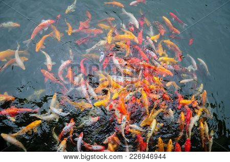 A Pond Full Of Large Multi-colored Asian Carp Or Koi In Li Yuan Garden In Zhaojialou Town In Shangha