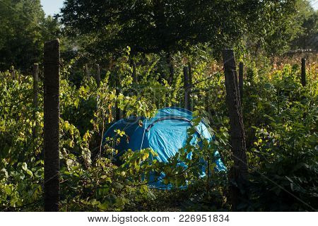 Camping In A Tent In A Vineyard