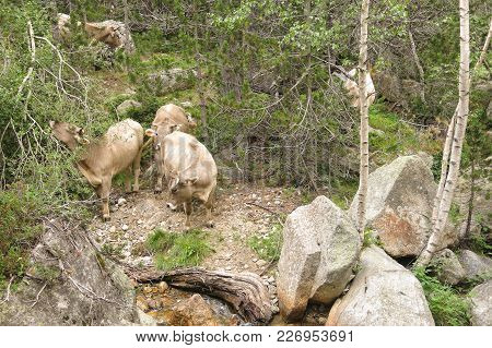 A Herd Of Cows Grazing In The Catalan Pyrenees Spain, On National Park Aiguestortes.