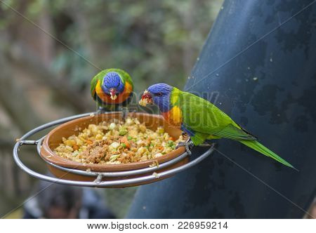 Two Close Up Exotic Colorful Red Blue Green Parrot Agapornis Lorikeet Eating Feeding From Bowl Of Gr