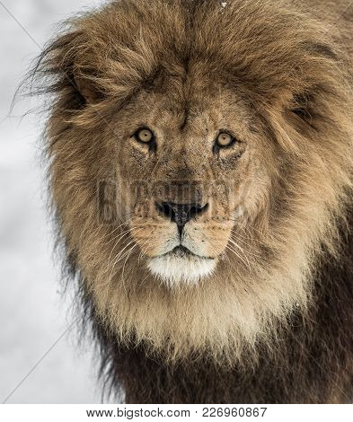 Lion, Panthera Leo, Lion Portrait On Bright, Soft Background, The Lion Is Looking Into The Camera.