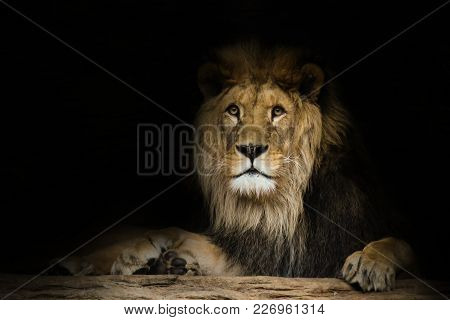 Poster Lion With A Fixed Look With Black Shine