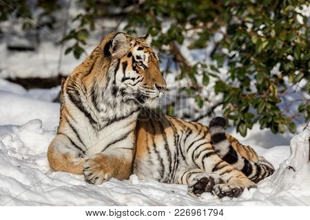 Siberian Tiger, Panthera Tigris Altaica, Looking Into Camera While Resting In The Forest In Winter.