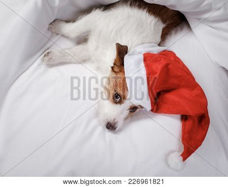 Dog In Bed. The Jack Russell Terrier Under The Blanket. Christmas Hat