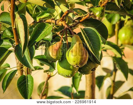 Bunch Of Ripe Pears Hanging On Tree Branch. Fresh Organic Pears With Water Drops In The Village Gard
