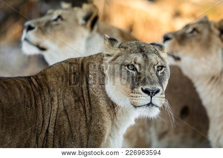 Lionesse Portrait, The Lion Looking To The Right. Female Lion, With Two Unfocused Female Lions In Th