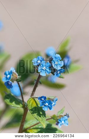 Blue Forget Me Not Flowers With Stone Wall Background