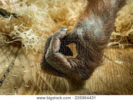 Hand Of Female Orangutan Living Indoors In Captivity In A Zoo