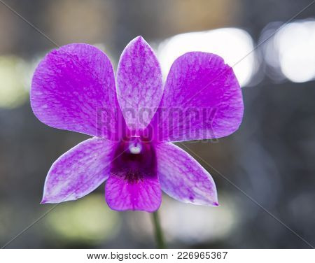 Blooming Orchid, Close Up In Sunny Day