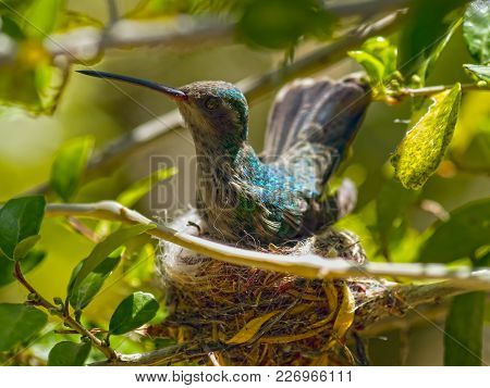 A Female Broad-billed Hummingbird Sitting On Her Nest Somewhere In Arizona.