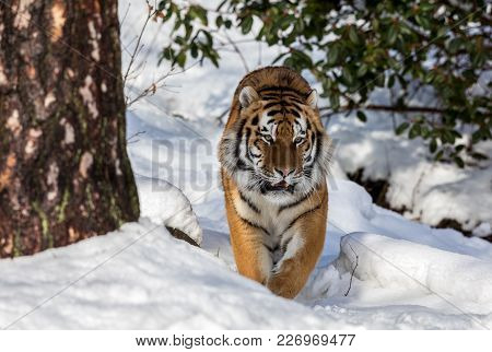 Siberian Tiger, Panthera Tigris Altaica, Walking Towards Camera In The Forest In Winter. Snow On The