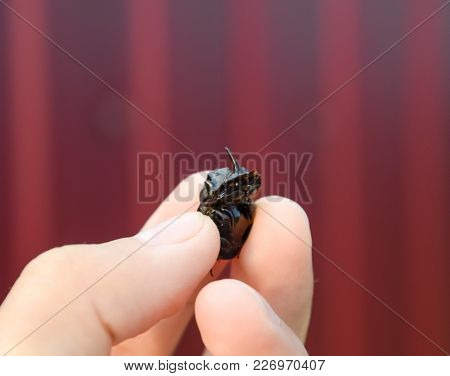 Rhinoceros Beetle. A Rhinoceros Beetle In The Fingers Of A Human Hand. Small Rhinoceros Beetles.