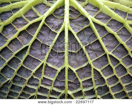 leaf underside of victoria water lily