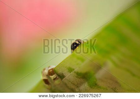 Hidding Mission Golden-eyed Tree Frog Behind Green Leaf. Natural Background. Frog Eye And Leg.