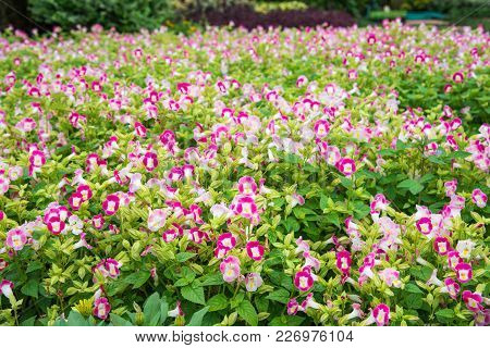 Colorful Wishbone Flower(torenia Fournieri Flower Seeds).  Beautiful Pink And Purple Flowers In Gard