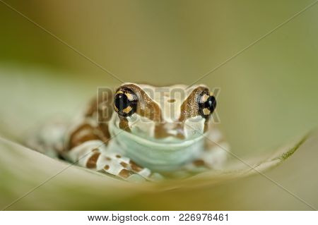 Amazon Milk Frog From Front View. Frog Sitting On Green Leaf.