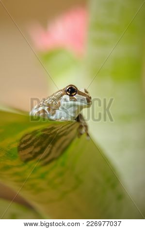 Amazon Milk Frog On Leaf, Shadow Of Frog Body. Backlight.