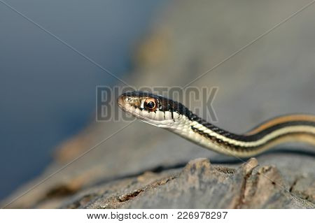 A Small And Brightly Colored Ribbon Snake Crawling Over A Rough Log.