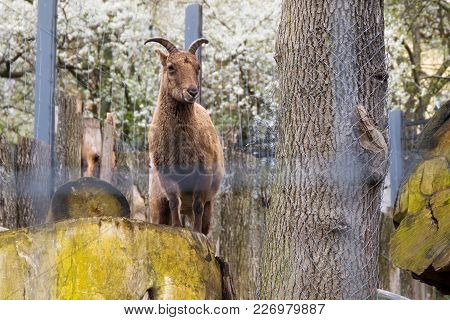 Russia, Kaliningrad - April 25, 2017: Bharal (himalayan Blue Sheep) In Zoo. The Kaliningrad Zoo Was