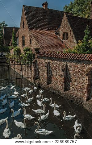 Several Swans Swimming In Canal Next To An Old Brick House On A Sunny Day At Bruges. With Many Canal