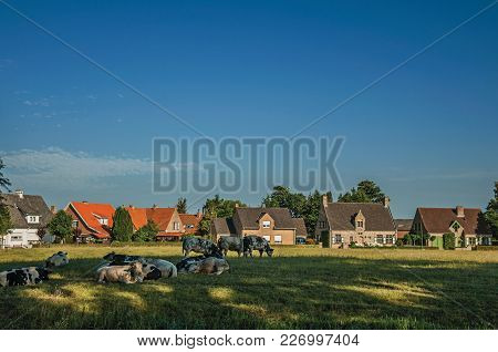Cows, Cottages And Trees In Front Of Cultivated Fields At The Late Afternoon Light, Next The Village