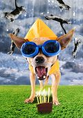 a tiny chihuahua with a raincoat and goggles on poster