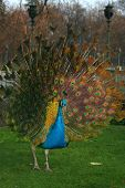 """Beautiful colourful peacock in """"Lazienki"""" park in Warsaw Poland. poster"""