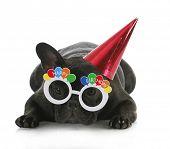 birthday dog - french bulldog wearing happy birthday glasses and hat on white background poster