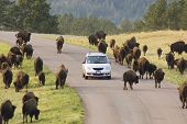 Tourists in Custer State Park in the Black Hills of South Dakota viewing free range buffalo along the road. Buffalo are the largest land mammal in North America. poster