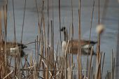 A soft focus winter pond with swimming Geese and reeds. poster