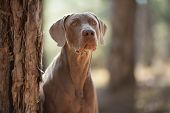 beautiful hunting dog Weimaraner looking at the camera for a walk in the woods portrait poster