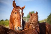 Mutual grooming in chestnut horses. Affectionate social animal behviour. Pair bond behavior with adult horse nibbling the withers of another in an apparent hug or caress. poster