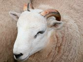 the head of a sheep with horns. poster