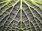 the interesting architectonical construction of a Victoria water lily leaf poster
