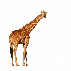 Giraffe isolated. Reticulated Giraffe cutout on white background
