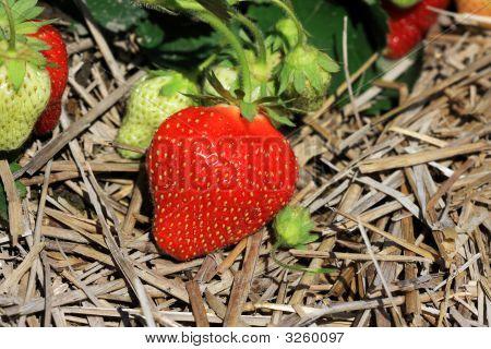 Strawberry In A Field