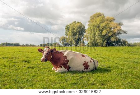 A Red And White Spotted Cow Is Quietly Ruminating In The Green Pasture. The Cow Looks Curiously At T