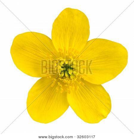 Marsh Marigold Yellow Flower Isolated On White
