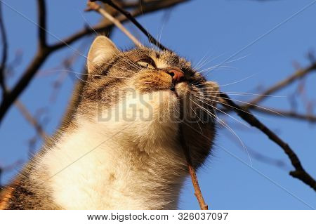 Domesticated Cat Face At Hunting. Focused And Lusty Face Of Felis Catus Domesticus. Cat With Colored