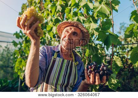 Farmer Picking Crop Of Grapes On Ecological Farm. Happy Senior Man Holding Green And Blue Grapes. Fa