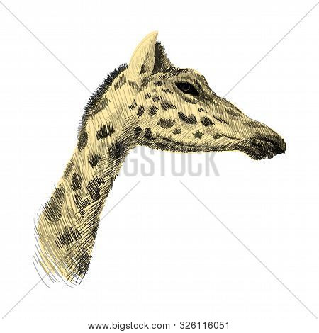 The Head Of A Giraffe Sketch Colorful Vector Graphics Drawing. African Wildlife Doodle Illustration,