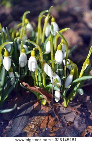 Many Flowering Snowdrops In The Forest Close-up