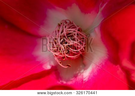 Detailed Macro Close Up Of The Pistil, Stamen And Anthers Of A Red German Climbing Rose Called Dortm