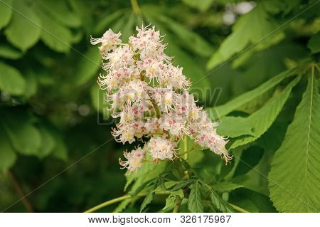 All Flowers Are Beautiful In Their Own Way. Cluster With White Chestnut Flowers. Chestnut Blossom Wi