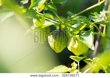 Tomatillo (mexican Husk Tomato, Physalis Philadelphica, Vegetable Physalis) Plants Grows In Vegetabl