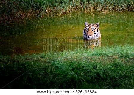 Amazing tiger taking a bath in a lake