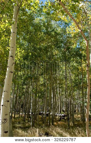 Aspen Trees Turning Gold In Early Fall