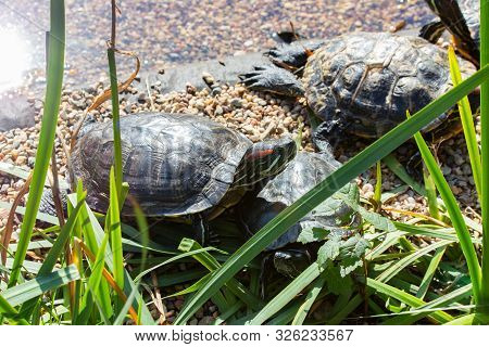 Rookery Red Eared Terrapin Turtles. Trachemys Scripta Elegans Bask In The Sun On The Shore Of A Pond